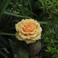Розы выращивание и уход