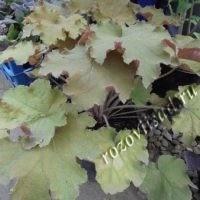 гейхера зелено-коричневая