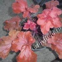 гейхера красная