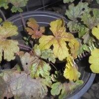 гейхера желто-коричневая