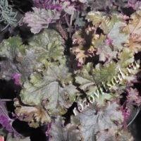 гейхера зелено-фиолетовая