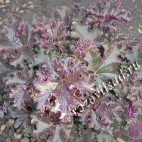 гейхера фиолетово-зеленая