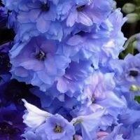 Blue-Lace