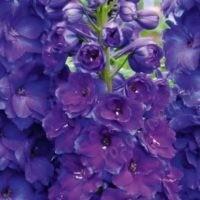 Pagan-Purples