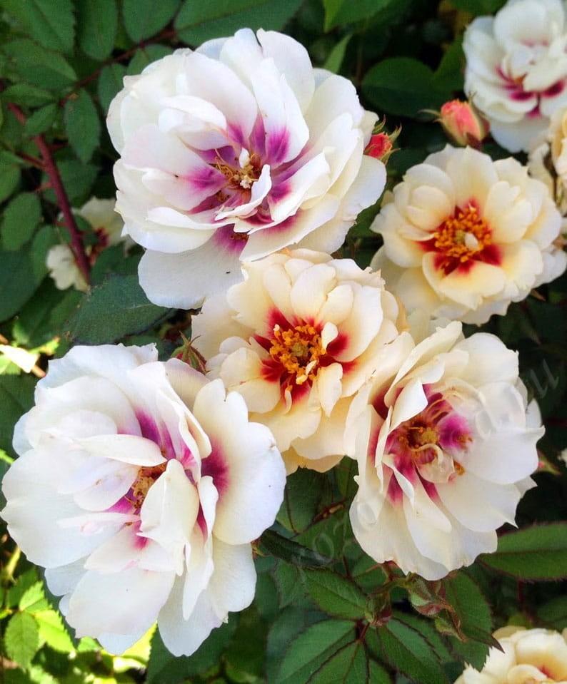роза гультемия персидская