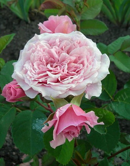 Роза Гийо