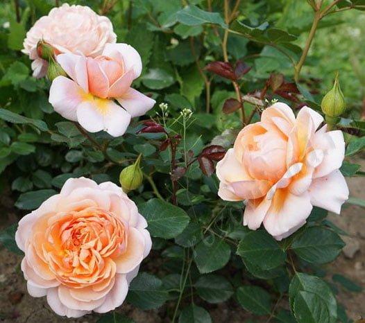 роза Гийо в саду