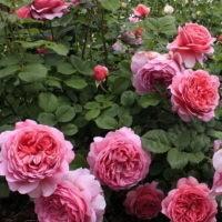 Роза английская - Принцесса Александра оф Кент