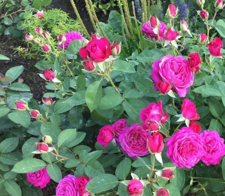 сорта бордюрной розы