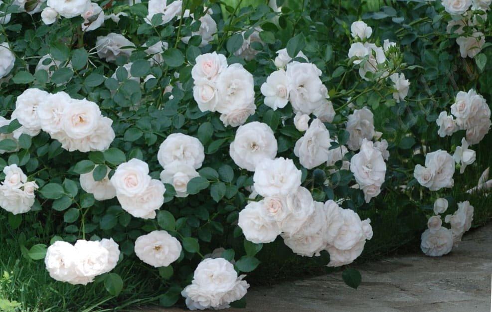 сорта почвопокровной розы