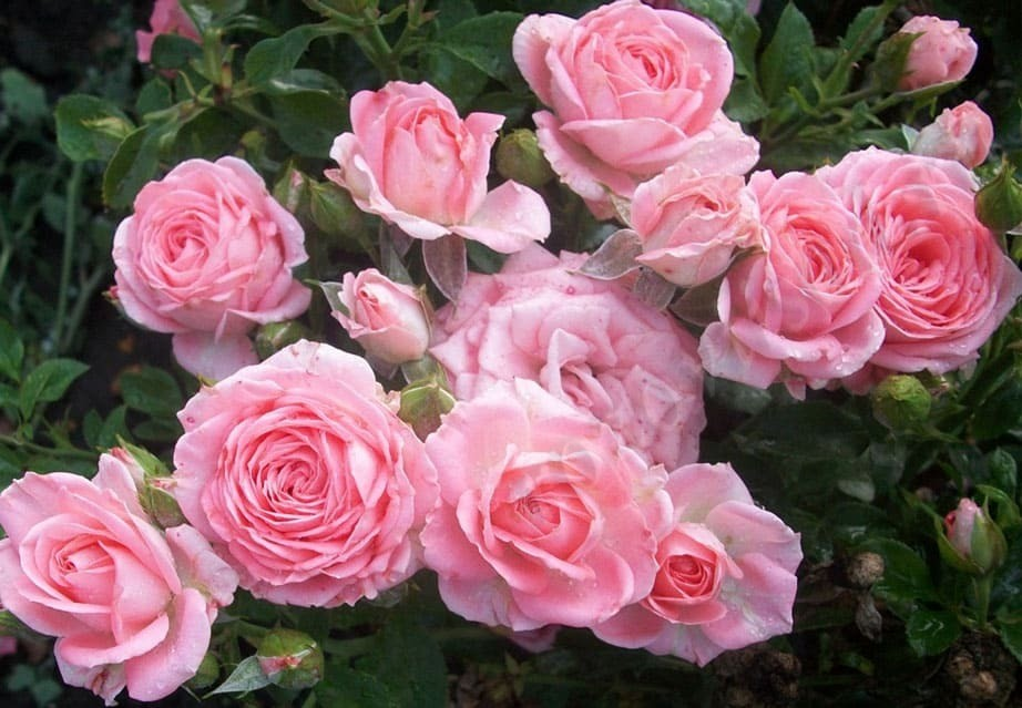 сорта спрей розы
