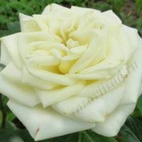 rosa Anastasiya