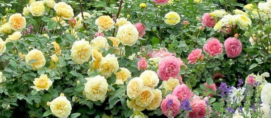 сорта английской розы Д. Остина