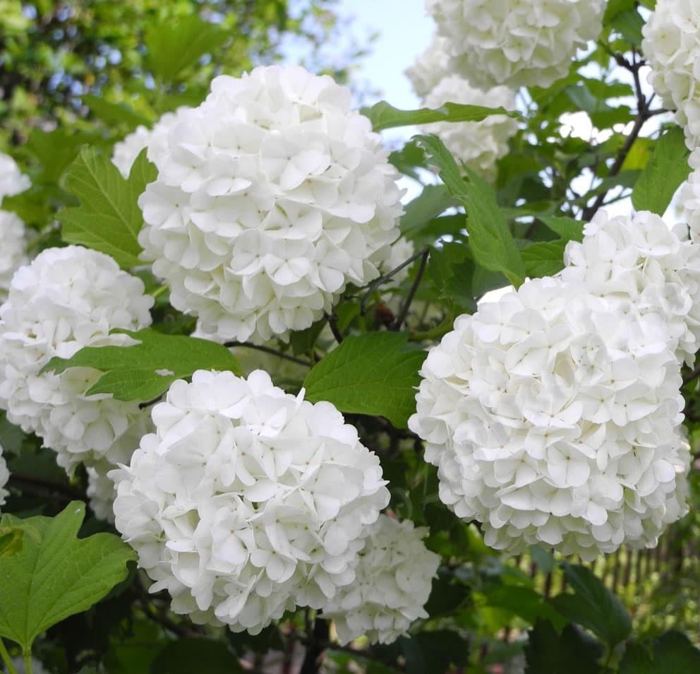 Куст бульденеж с цветами