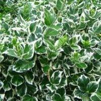 fortunei-Emerald-Gaiety