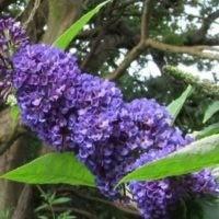 Empire blue цветок