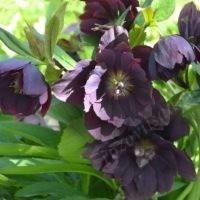 Ellen Purple