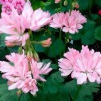 Dream lover розовый