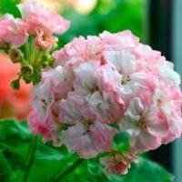 Jagershus Mormor Marta цветок