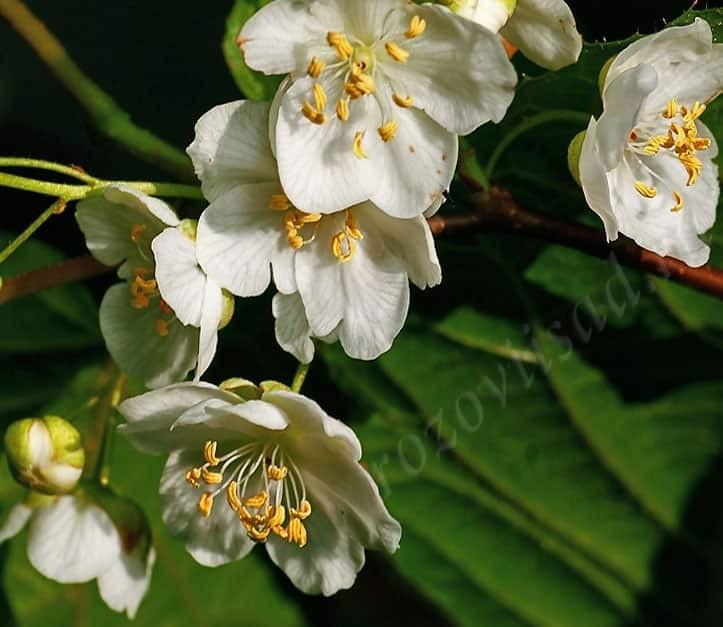 Мужской цветок актинидии