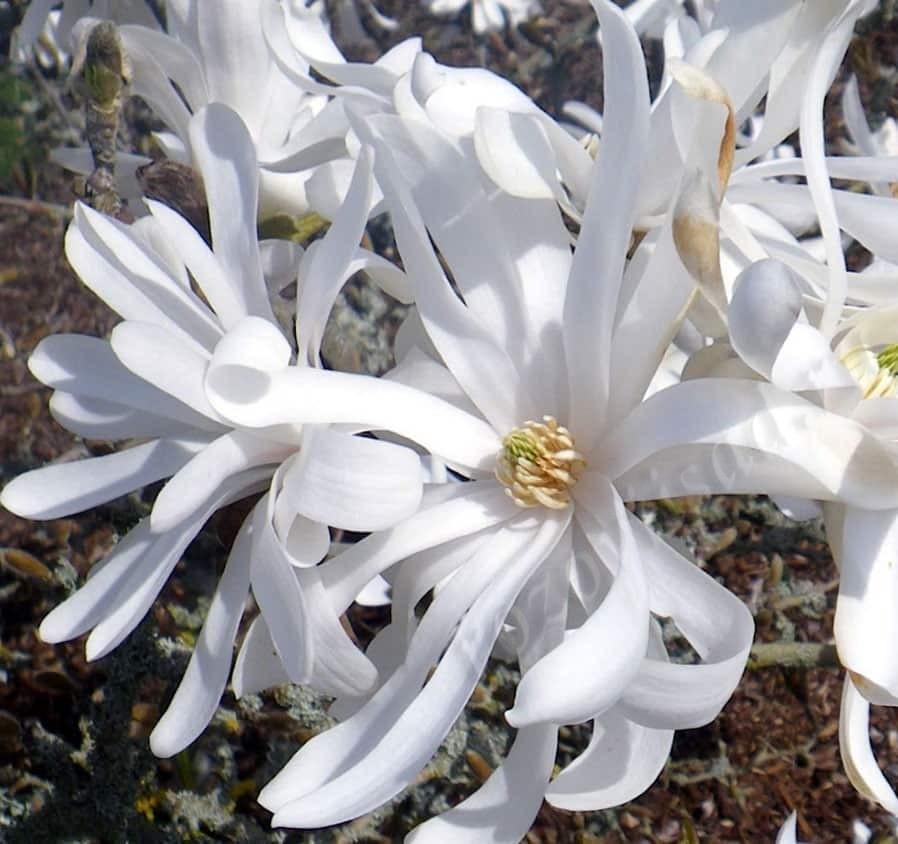 цветок магнолии стеллата