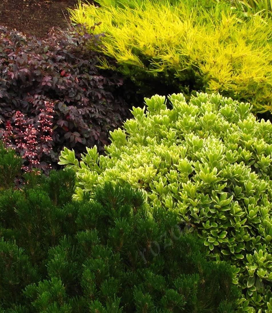 Многолетние кустарники - красивоцветущие