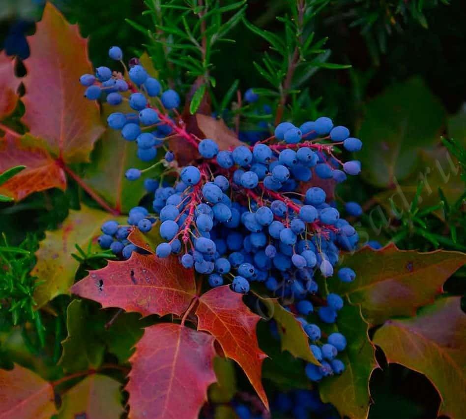 ягоды магонии