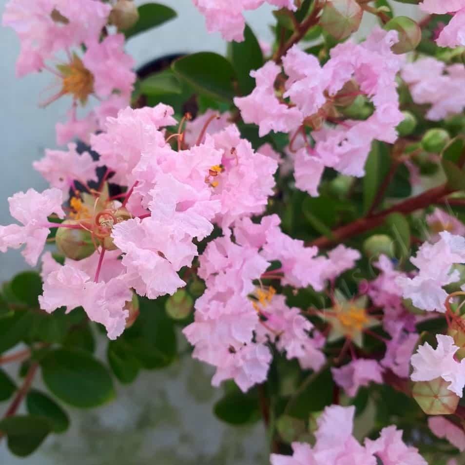 Lagerstremia Seaburn цветок