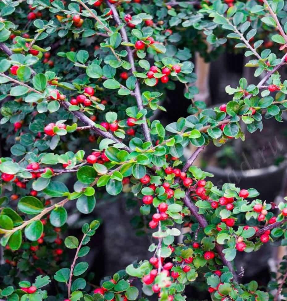 Cotoneaster горизонтальный Ursynow
