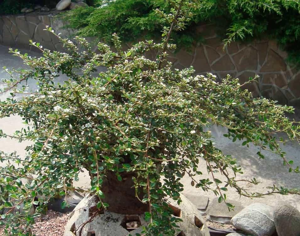 Cotoneaster горизонтальный