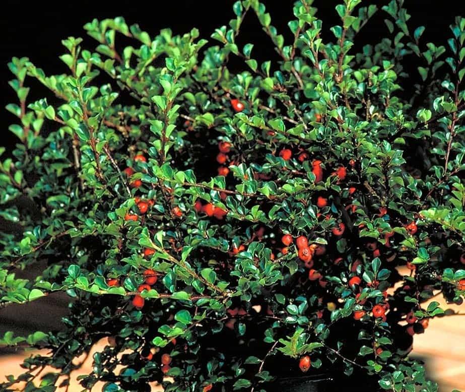 Cotoneaster саженцы