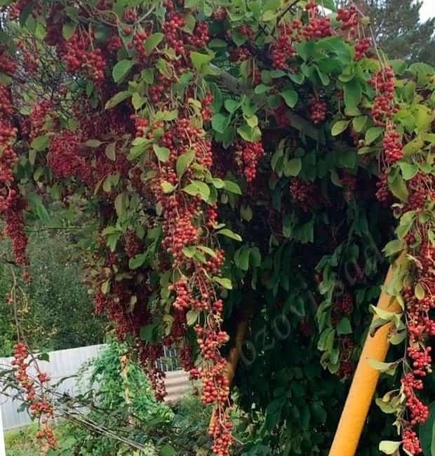 красные ягоды лимонника