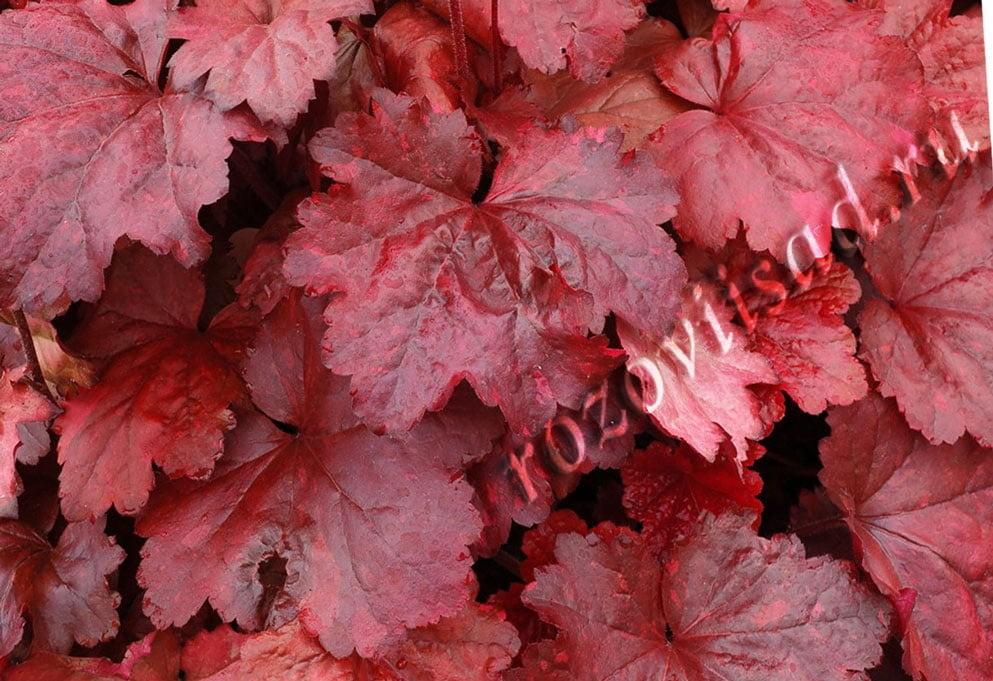 Гейхера фото выращивание 56
