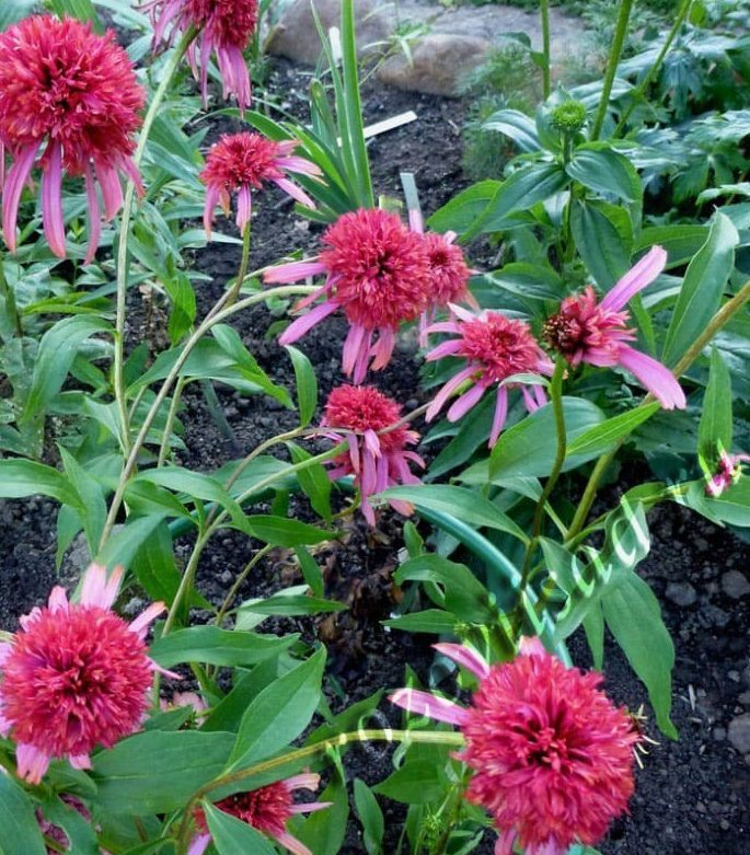 Эхинацея пурпурная мантия выращивание 87