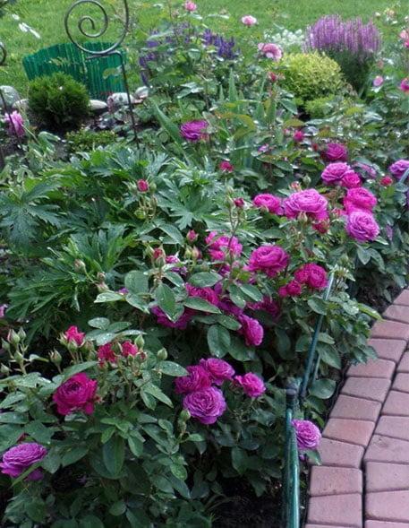 Уход за бордюрными розами в домашних условиях 616